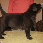 Gilbron Pride Smart Chilli Pepper (girl, 2 months / meitene, 2 mēneši), LV&LT&EE&BALT JCH, LV CH