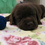 """šokolādes puika """"zils""""  - 4 nedēļas / chocolate boy """"blue"""" - 4 weeks"""