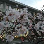 2015.03.031 今年は綺麗に咲きました