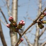 2013.03.09 新しく桜を植えました。3/9はこんな感じでした。
