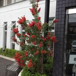 当院のシンボルツリー ボトルブラシツリー