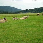 Ferienwohnung Meindlhof: Schafe