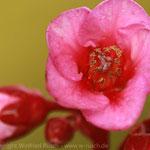 Bergenia cordifolia 'Herbstblüte' - Foto: Winfried Rusch