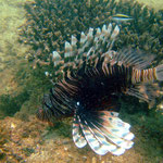 Lion Fish (Ningaloo Reef) © 2008