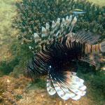 Lion Fish (Ningaloo Reef) © 2008