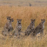A hungry Cheetah group is looking for food. Masai Mara National Reserve, Kenya     © Stephan Stamm