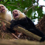 Manuel Antonio National Park (Costa Rica) - White-throated Capuchin © Stephan Stamm