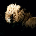 Karongwe GR - Male Lion at Night
