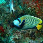 Imperator-Kaiserfisch (Maldives) © 2007
