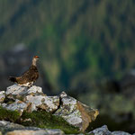 Niederhorn, Bern (Switzerland) - rock ptarmigan (snow chicken) in summer time   © Stephan Stamm