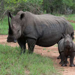 Karongwe GR - White Rhino with calf