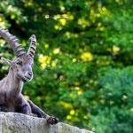 Wildlife Park Zurich Langenberg (Switzerland) - An Ibex monitors the environment     © Stephan Stamm