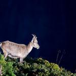 Niederhorn (Switzerland) - Wonderful young capricorn     © Stephan Stamm