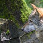 Wildlife Park Zurich Langenberg (Switzerland) - Wolves     © Stephan Stamm