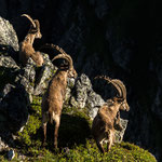 Niederhorn, Bern (Switzerland) - Three Alpine Ibexes on a cliff     © Stephan Stamm
