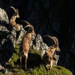 Niederhorn, Bern (Switzerland) - Three Alpine Ibexes on a cliff     © Stephan Stamm
