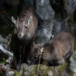 Creux du Van (Jura, Switzerland) - Climb through the bushes - The adventurous life of two young  Ibex     © Stephan Stamm
