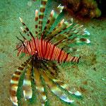Gewöhnlicher Rotfeuerfisch (Berenice) © 2008