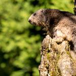Wildlife Park Zurich Langenberg (Switzerland) - A Marmot monitors the environment     © Stephan Stamm