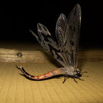 Namib Naukluft Park - Antlion (Palpares libelluloides)