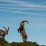 Niederhorn, Bern (Switzerland) - Two Alpine Ibexes in a fight    © Stephan Stamm