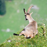 Niederhorn (Switzerland) - The capricorn lies on the edge of the cliff     © Stephan Stamm