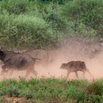 Kruger NP (Makuleke Concession) - Fugitive Buffalo