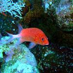 Weißsaum-Soldatenfisch (Berenice) © 2008