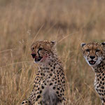 After their meal. Masai Mara National Reserve, Kenya     © Stephan Stamm