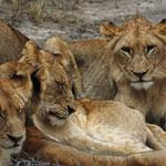Sabi Sands GR (Chitwa Chitwa) - resting Lions