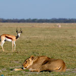 Nxai Pan NP - Young lion watched by a Springbok