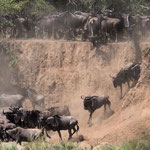 Hundreds Gnus plunge down the steep cliffs. Masai Mara National Reserve, Kenya     © Stephan Stamm