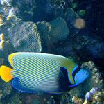 Imperator-Kaiserfisch (Berenice) © 2008