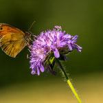 Schleitheim (Switzerland) - A butterfly drinks nectar from a beautiful flower     © Stephan Stamm