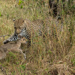 Leopard is playing with young Reedbuck before it kills. Masai Mara National Reserve, Kenya     © Stephan Stamm