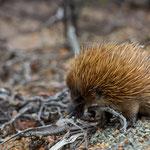Kangaroo Island Flinders Chase NP (South Australia) - Echidna     © Stephan Stamm