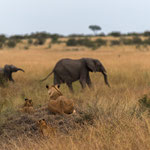 Lions are watching at Elephants. Masai Mara National Reserve, Kenya     © Stephan Stamm