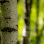 Birch forest in the Val Calnegia, Ticino (Switzerland)     © Stephan Stamm