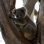 Kangaroo Island Flinders Chase NP (South Australia) - Koala     © Stephan Stamm