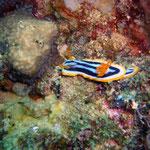 Pyjama-Comodoris (Ningaloo Reef) © 2008