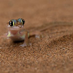 Namib Desert - Palmato Gecko