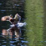 Étang de la Gruère (Switzerland) - The duck right before landing     © Stephan Stamm