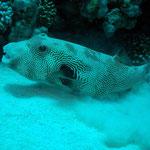 Riesenkugelfisch (Marsa Alam) © 2006