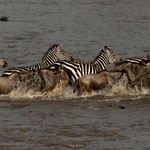 Zebras and Wildebeest crossing Mara River at large migration. Masai Mara National Reserve, Kenya     ©2019 Stephan Stamm