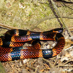 Manuel Antonio National Park (Costa Rica) - Coral Snake © Stephan Stamm