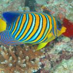 Pfauen-Kaiserfisch (Maldives) © 2007