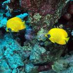 Masken-Falterfische (Marsa Alam) © 2006