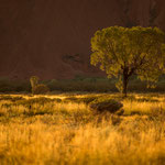 Uluru Kata Tjuta NP (Northern Territory, Australia) - Tree at Uluru in the warm light at sunrise     © Stephan Stamm