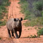 Waterberg NP (Namibia) - Black Rhino starts Attack