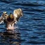 Étang de la Gruère (Switzerland) - The duck landing     © Stephan Stamm